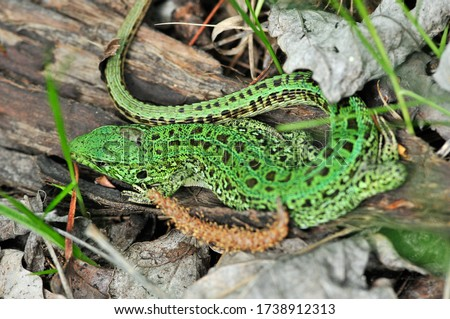 A quick lizard, or a nimble lizard, or an ordinary lizard (lat. Lacerta agilis) is a species of lizards from the family of real lizards.  Lizard in the natural habitat during the mating season. #1738912313