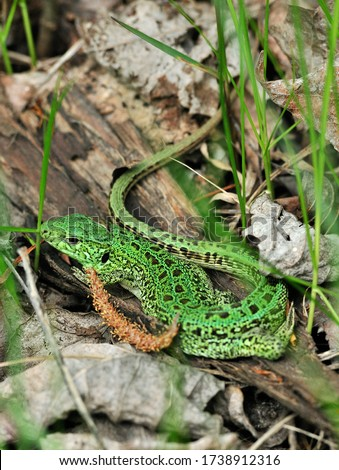 A quick lizard, or a nimble lizard, or an ordinary lizard (lat. Lacerta agilis) is a species of lizards from the family of real lizards.  Lizard in the natural habitat during the mating season. #1738912316