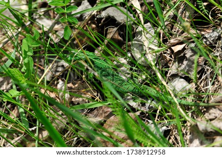 A quick lizard, or a nimble lizard, or an ordinary lizard (lat. Lacerta agilis) is a species of lizards from the family of real lizards.  Lizard in the natural habitat during the mating season. #1738912958