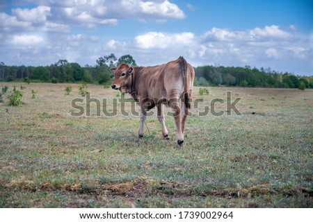 (Young) Tauros in the Maashorst Royalty-Free Stock Photo #1739002964