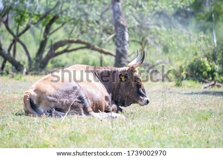 (Young) Tauros in the Maashorst Royalty-Free Stock Photo #1739002970