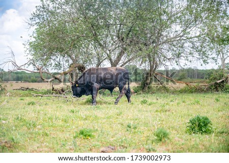 (Young) Tauros in the Maashorst Royalty-Free Stock Photo #1739002973