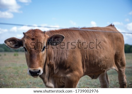 (Young) Tauros in the Maashorst Royalty-Free Stock Photo #1739002976