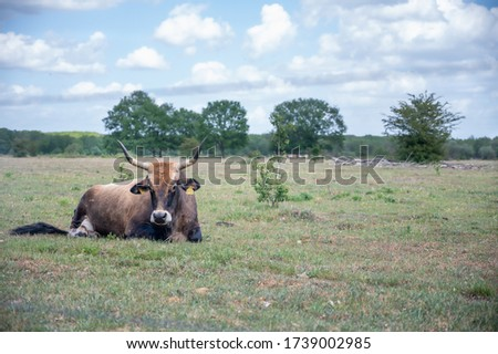 (Young) Tauros in the Maashorst Royalty-Free Stock Photo #1739002985