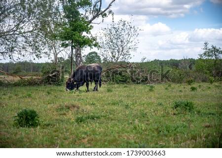 Tauros bull grazing in the maashorst Royalty-Free Stock Photo #1739003663