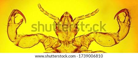Human louse (Pediculus humanus Linnaeus, 1758) head and anterior legs (ventral view) - permanent microscope slide