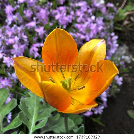 Macro photo yellow tulip. Stock photo blooming yellow tulip flower