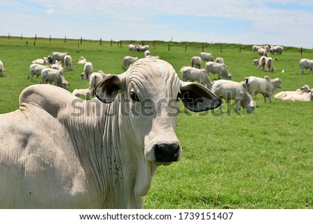 Nellore cattle raised on irrigated Tifton pasture Royalty-Free Stock Photo #1739151407