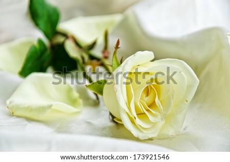 White rose #173921546