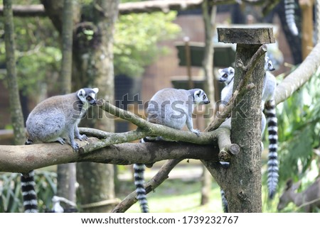 The ring-tailed lemur (Lemur catta) is a large strepsirrhine primate and the most recognized lemur due to its long, black and white ringed tail. It belongs to Lemuridae, one of five lemur families #1739232767