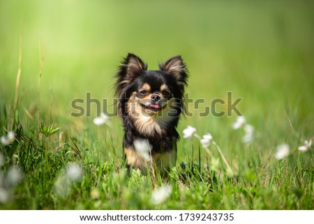 Summer. A Chihuahua dog in a Sunny clearing. Hot day.