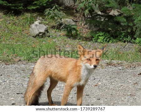 Picture of cute little fox