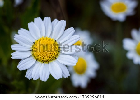 Close up photo of chamomile. Medical herb. Macro picture flower of chamomile.