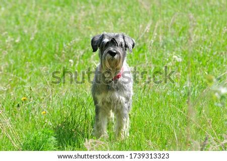The Standard Schnauzer (Mittelschnauzer), middle schnauzer  is a medium sized service dog belonging to the group of schnauzers. #1739313323