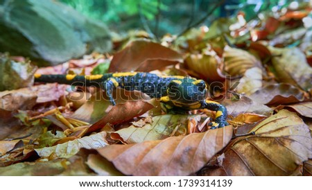 A beautiful spotted lizard, a Fire salamander (Salamandra salamandra), crawls on dry leaves. Portrait of a lizard, rare animal looks at the viewer. Salamander in a natural habitat