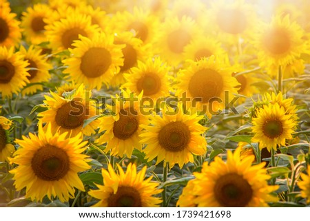 Bright picture of golden sunflowers in the field with rays of a setting sun