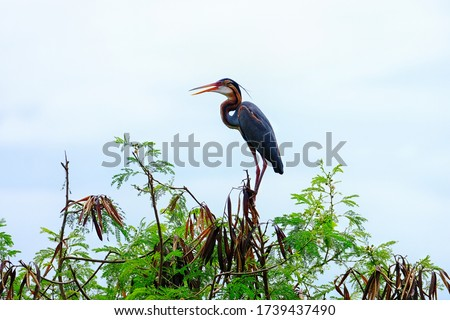 the noisy and out of focus picture of The purple heron (Ardea purpurea) is a wide-ranging species of wading bird in the heron family, Ardeidae