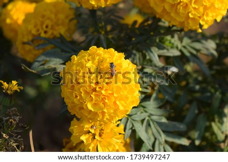 Pictures of Beautiful Marigold Flower taken during day light with Some Insects at Chandigarh
