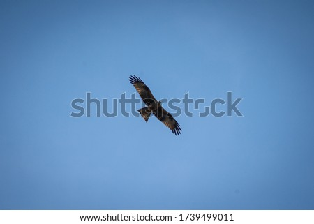 close up pictures of flying birds, such as milvus, during the day with blue sky