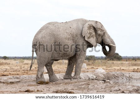 """An adult """"white"""" African elephant with big tusks. Elephants that live in this part of Africa are often called white because of the dust they use to bath in. Nxai Pan National Park, Botswana - Africa"""