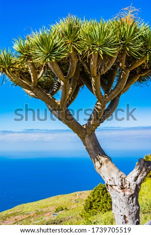 Dracaena draco, the Canary Islands dragon tree or drago, is a subtropical tree-like plant in the genus Dracaena, native to the Canary Islands. La Palma, Tenerife, Canary Islands, Spain, Europe #1739705519