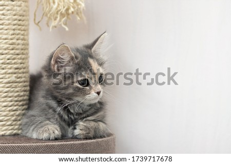 Cute gray kitten sits near a scratching post on cat's furniture. Horizontal banner, copy space.