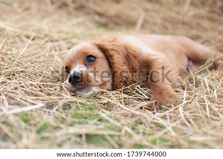 Portait of a cockalier spaniel puppy (mixed breed of American cocker spaniel and Cavalier King Charles spaniel) laying in tall grass looking tired. #1739744000