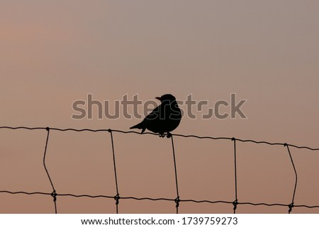 Silhouette picture of a common blackbird in the soft glow of twilight