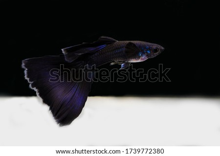 spectacular blue moscow guppy show #1739772380