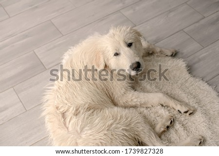sad white big dog lying on the Mat after washing