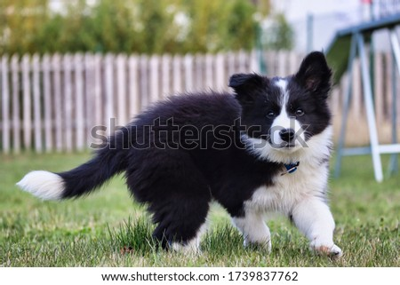 Border Collie puppy enjoying the garden after lockdown. Fluffy Black and white puppy standing on grass in Czech Republic.