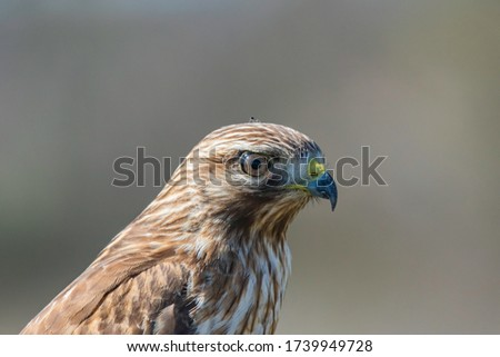 The red-tailed hawk is a bird of prey that breeds throughout most of North America, from the interior of Alaska and northern Canada to as far south as Panama and the West Indies. Hawk close up picture