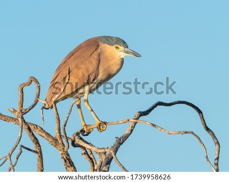 The Nankeen Night Heron (Nycticorax caledonicus) or Rufous Night Heron, is a medium-sized heron. It is found in Indonesia, the Philippines, Papua New Guinea, and throughout much of Australia #1739958626