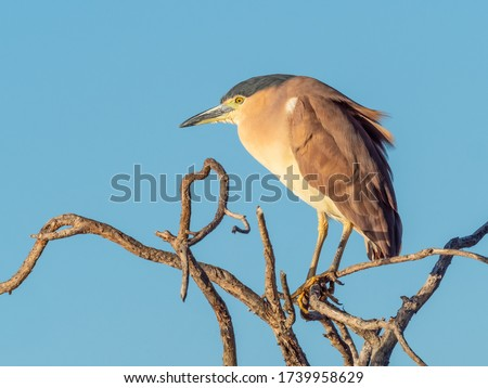 The Nankeen Night Heron (Nycticorax caledonicus) or Rufous Night Heron, is a medium-sized heron. It is found in Indonesia, the Philippines, Papua New Guinea, and throughout much of Australia #1739958629