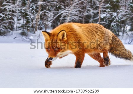 Cute Red Fox, Vulpes vulpes in winter forest. Beautiful animal in the nature habitat. Wildlife scene from the wild nature. Cute animal in habitat. Red fox running on white snow Royalty-Free Stock Photo #1739962289