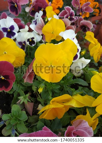 Beautiful pansy flowers in the garden. Mixed pansies in the garden. Pansies vertical background. Yellow. red and white pansies on a flower bed with green leaves. Mix of summer flowers in the garden