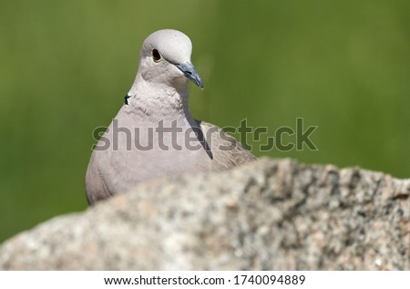 Eurasian collared dove or Ring-necked dove (Streptopelia decaocto) on a rock in spring nature. Close-up of wild bird isolated on green background in Rastatt, Germany #1740094889