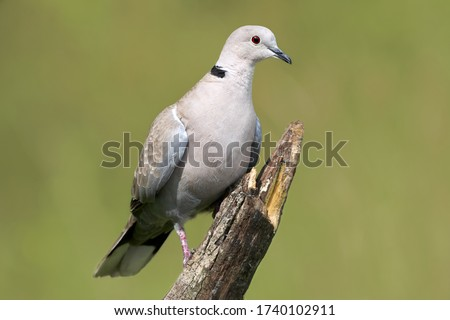 Eurasian collared dove (Streptopelia decaocto) perched on wooden stick in nature. Bird close-up against green background in Rastatt, Germany  #1740102911