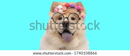 adorable nerdy Chow Chow dog sticking put his tongue, wearing eyeglasses and a headband with flowers on blue background