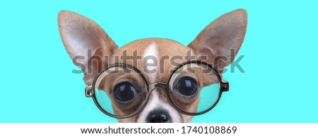 cute nerdy Chiwawa dog with half of face hidden, wearing eyeglasses and looking at camera on blue background