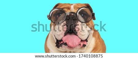 nerdy funny English Bulldog dog sticking out his tongue, wearing eyeglasses and sitting on blue background