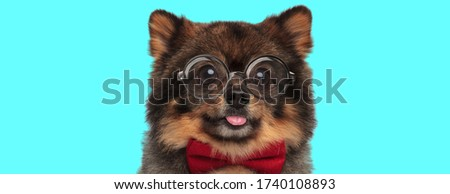 cute nerdy Pomeranian Spitz dog sticking out his tongue, wearing a red bowtie and eyeglasses on blue background
