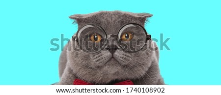 nerdy cute Scottish Fold cat lying down, wearing eyeglasses with red bowtie on blue background