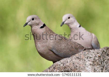 Close-up of two Eurasian collared doves or Ring-necked doves (Streptopelia decaocto) on a rock in spring nature. Close-up of wild birds isolated on green background in Rastatt, Germany #1740111131