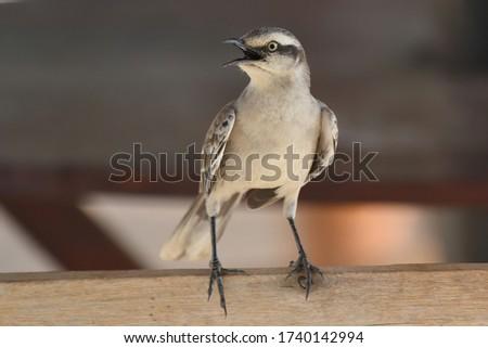 Chalk-browed Mockingbird (Mimus saturninus) sitting on a fence