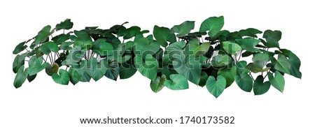 Heart shaped dark green leaves of Homalomena plant (Homalomena rubescens) the tropical foliage plant bush growing in wild, popular houseplant isolated on white background with clipping path. #1740173582