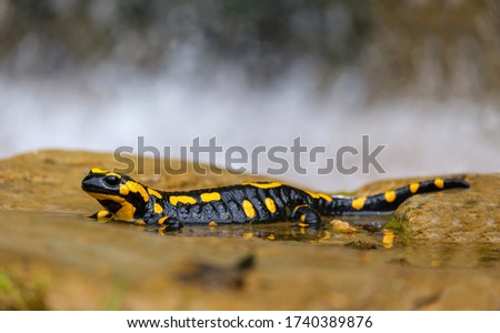 The fire salamander (Salamandra salamandra) is possibly the best-known salamander species in Europe. They most often stay near clean forest streams and wells.