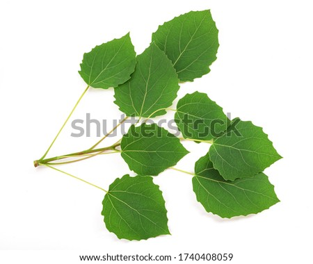 Quaking aspen sprig with leaves isolated on white background #1740408059