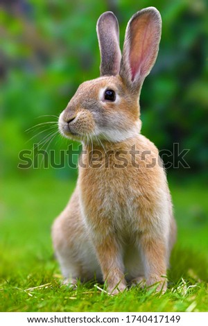 beautiful brown rabbit looking right side very cutie the rabbit fastest running