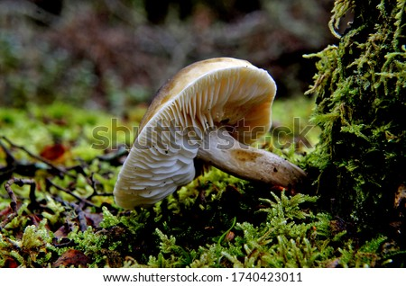 Close-up picture of mushroom, Cortinarius is a genus of mushrooms. It is suspected to be the largest genus of agarics, containing over 2000 different species and found worldwide.